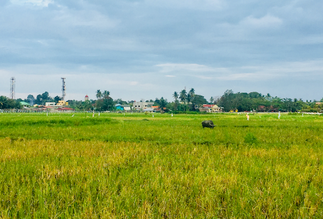 Rice fields within the surroundings of Argao Nature Park