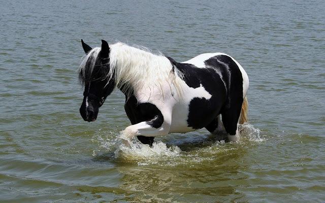Zwart wit paard in het water