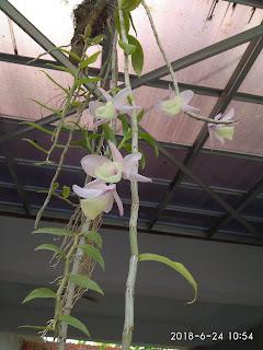 Tanaman Anggrek Dendrobium Aphyllum