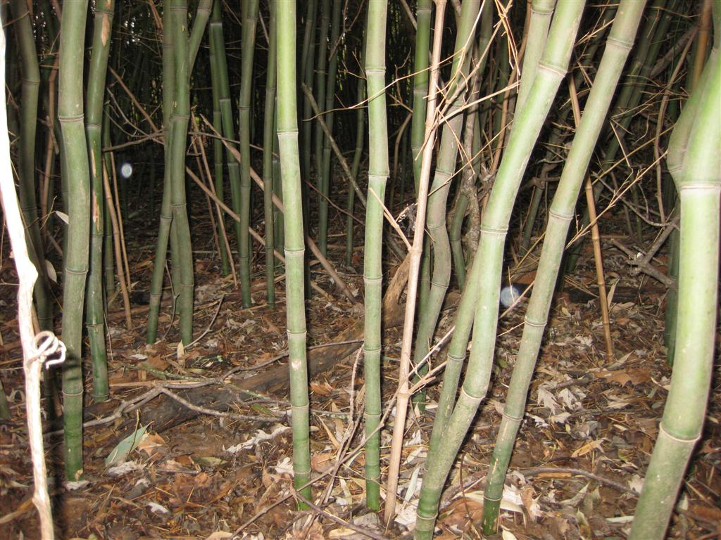Yellowo Grove Bamboo In West Virginia Kentucky