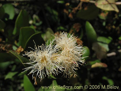 Myrceugenia exsucca