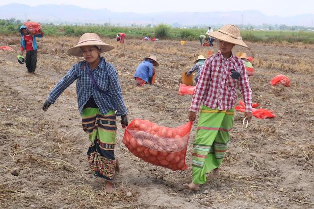 ေအာင္ၿငိမ္းခ်မ္း (Myanmar Now) ● နည္းပညာသစ္နဲ႔စိမ္းေနတဲ့ အာလူးစိုက္ေတာင္သူမ်ား