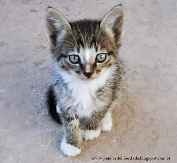 filhote de gato com mãos brancas e olhos azuis