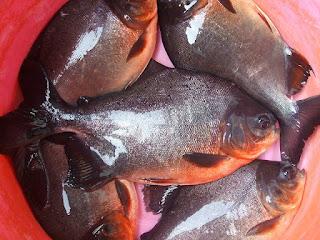 Cara Budidaya dan Pemeliharaan Ikan Bawal