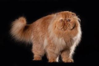 Bentuk dan juga Fungsi Ekor Kucing