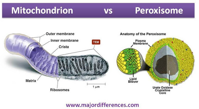 Mitochondrion vs  Peroxisomes