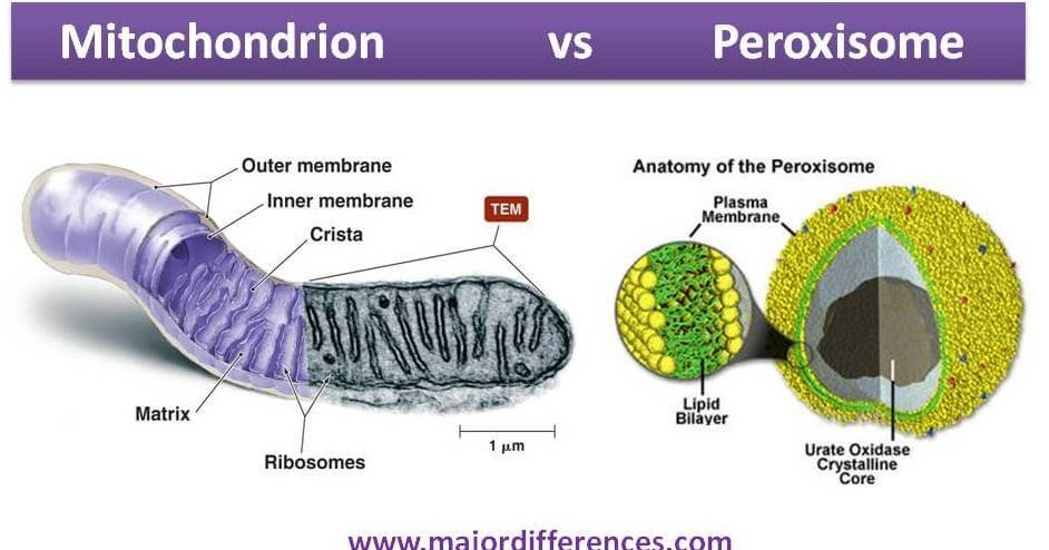 8 Differences between Mitochondria and Peroxisome MD