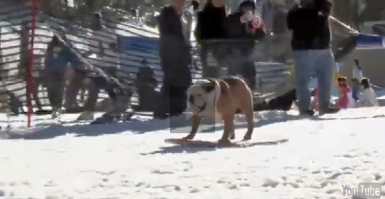 Remember The Skateboarding Dog, He Surfs and Snowboards Now! - Surfing Snowboarding Skateboarding Dog