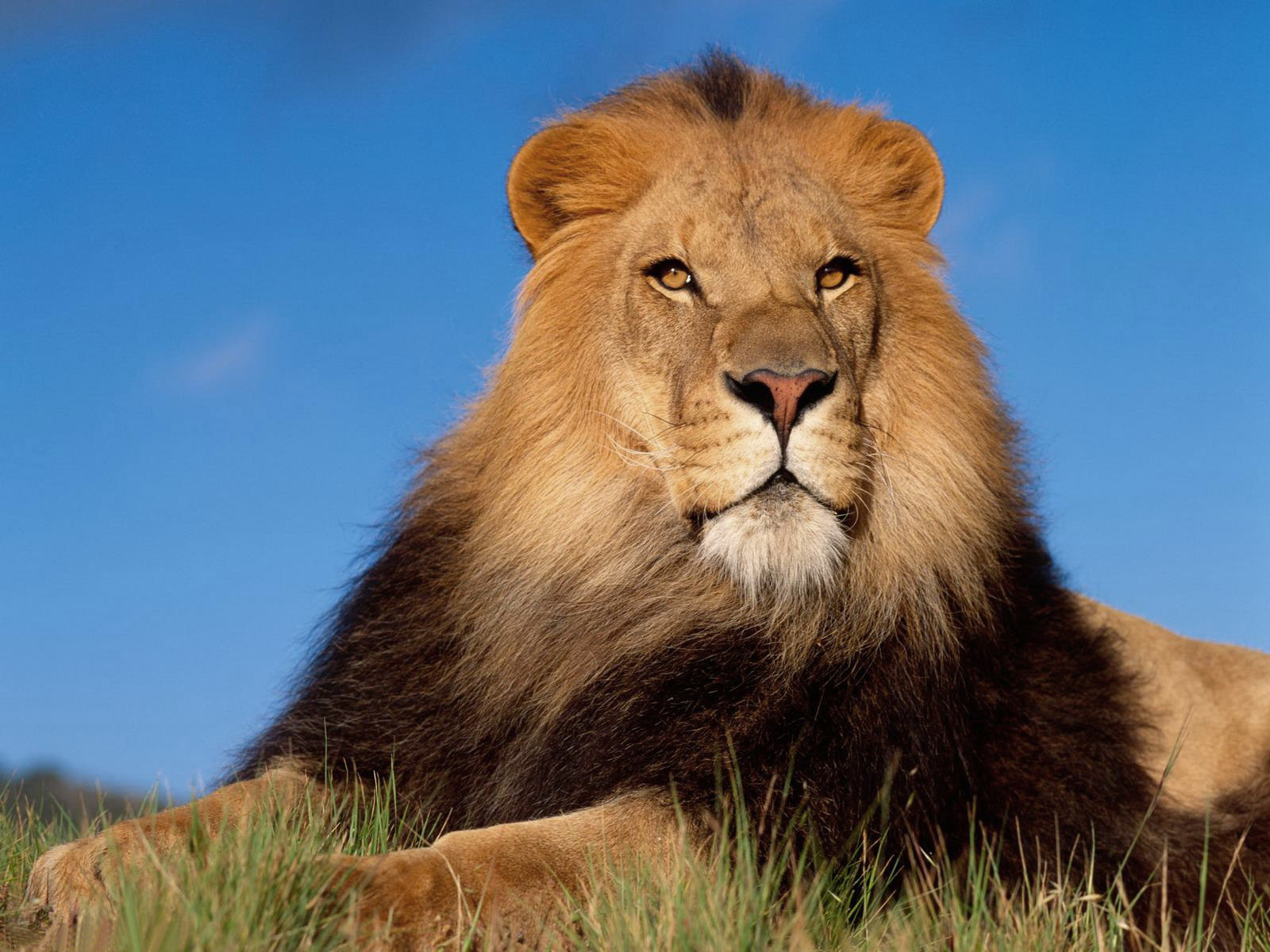 HD Lion Pictures Lions Wallpapers - HD Animal Wallpapers