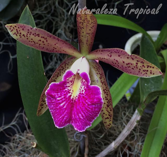 """Híbrido intergenérico de una especie de orquídea del género Cattleya con otra del género Brassavola. Nombre: Brassocattleya """"Felipe Haye"""""""