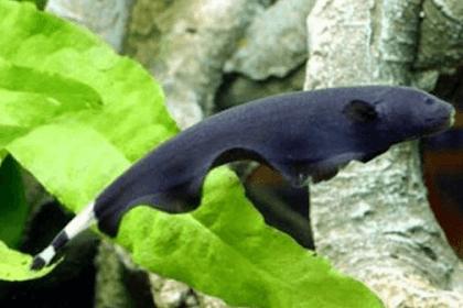 Ikan Black Ghost, Si Pemalu yang Cantik dan Mempesona