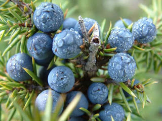 juniper berry fruit images