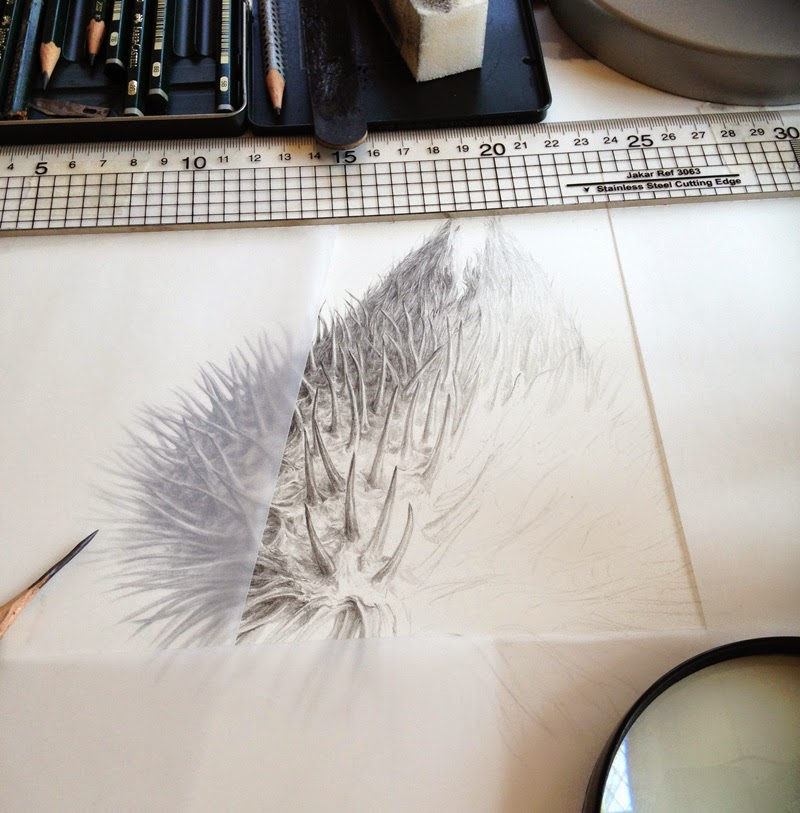 Drawing of Scots thistle