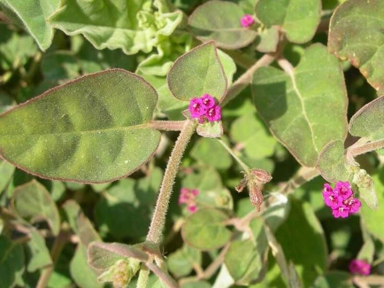 Image result for पुनर्नवा के पत्तों