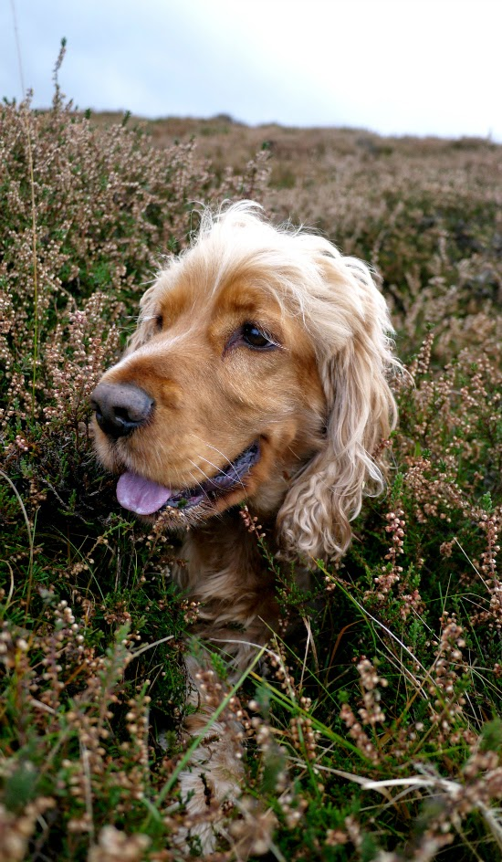 golden cocker spaniel laying in heather
