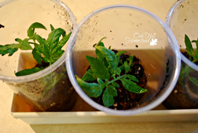 Here's the best way to root tomato cuttings