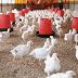 Supplier Ayam Potong Tajur Halang Bogor