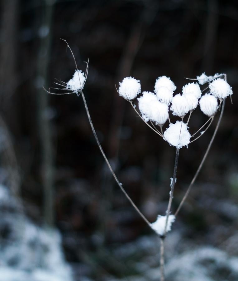 Blog + Fotografie by it's me! - Winter für einen Tag - verschneite Wilde Möhre