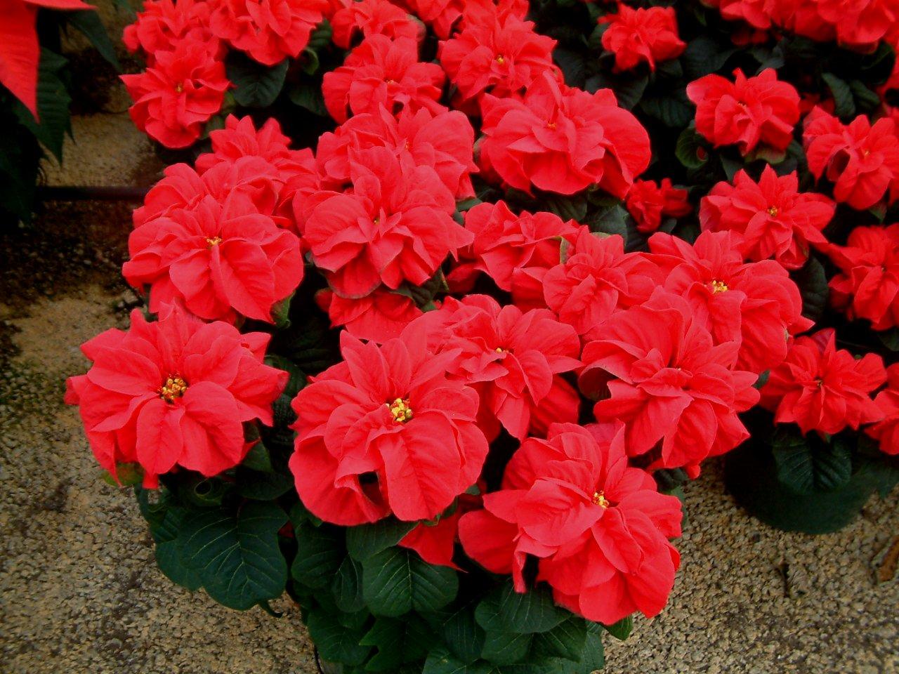 Its Me Amalina December Birth Flower My Flower