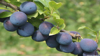 Damson fruit images wallpaper