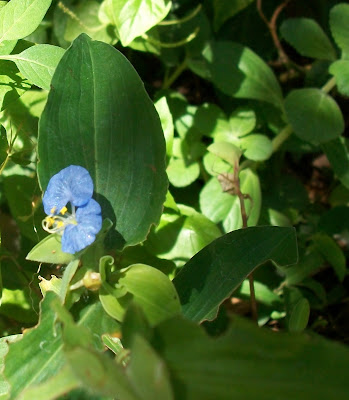 "La Commelina erecta ,""flor de Santa Lucía"""