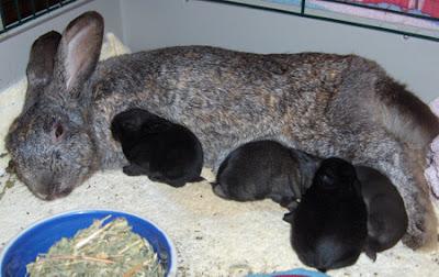 bayi kelinci menyusui