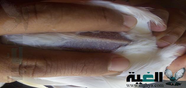 العلاج السحري لتسييف فرد الحمام (ماء الشعير والخميرة)