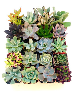 15 Real Succulents - $12.20 Springtime Bohemian Home Decor {Pastel Bohemian, Springtime Boho Home Decorations, Bohemian Easter}