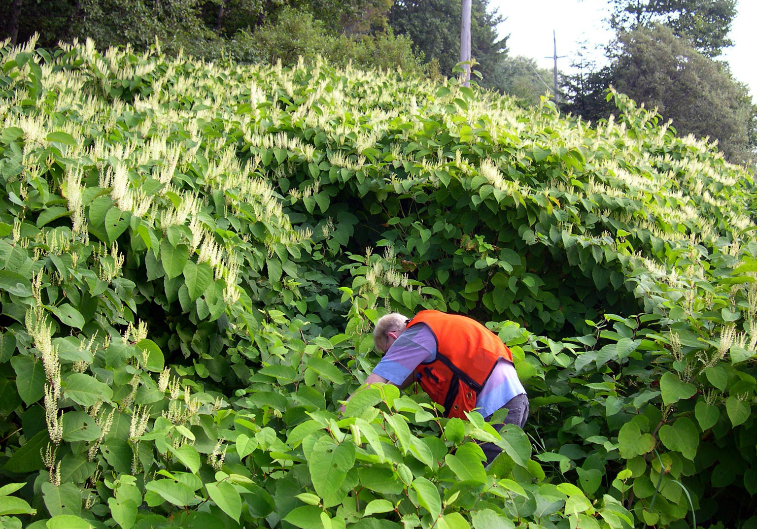 Removing invasive plants japanese knotweed for Plant nursery