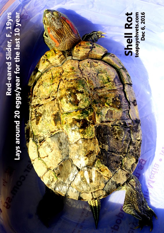 Veterinary and Travel Stories: 2984 Shell rot in a 19-year
