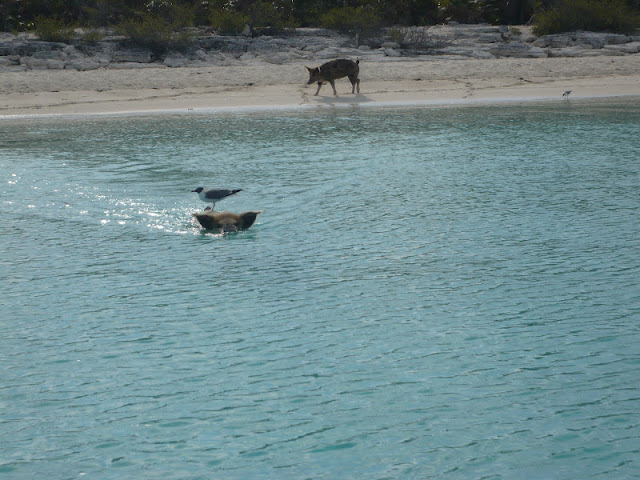 Swimming Pigs and Staniel Cay | maggie and al's sailing