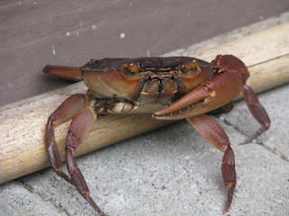 land crab missing claw