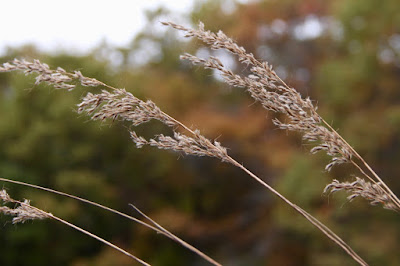 blue-joint grass (Calamagrostis canadensis) seed heads