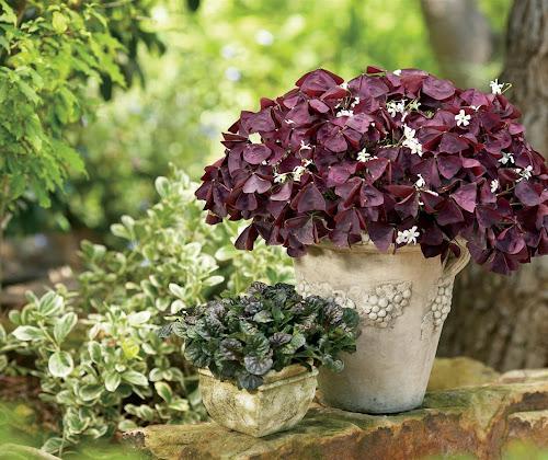 Oxalis triangularis subsp. papilionacea, por sus hojas púrpuras los conoceréis