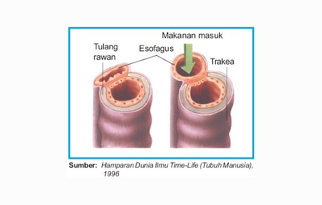 Perlekatan Trakea dengan Esofagus