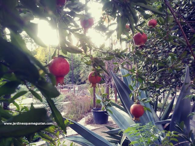 Granado fructificando (Punica granatum) en la Escuela de Jardinería