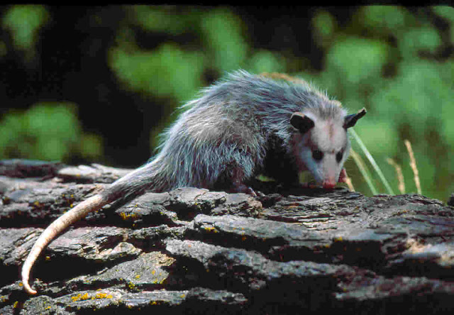 What is Opossum? Facts and information 7