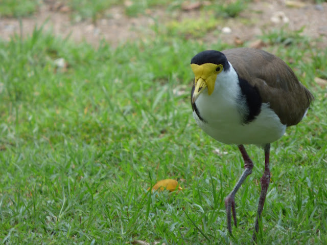 "black headed bird with yellow face and long scrawny legs ""Elvis like"""