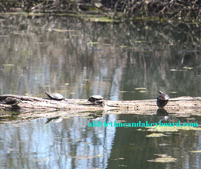 More turtles having their best lives ever in the sun at Pratt's Wayne Woods in Wayne, Illinois