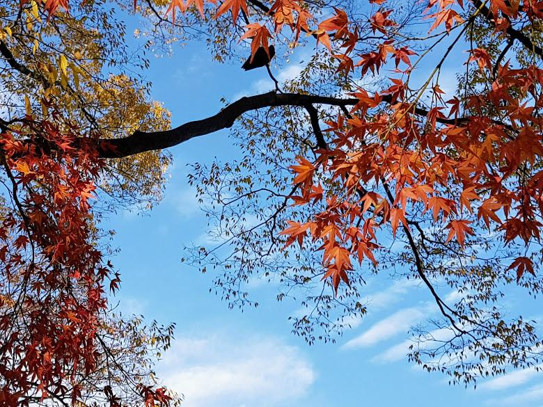 楓葉與藍天