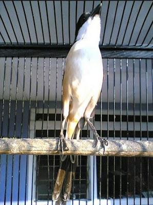 Cara Tepat Pemberian Ef Kroto Pada Burung Cendet Supaya Cepat Gacor
