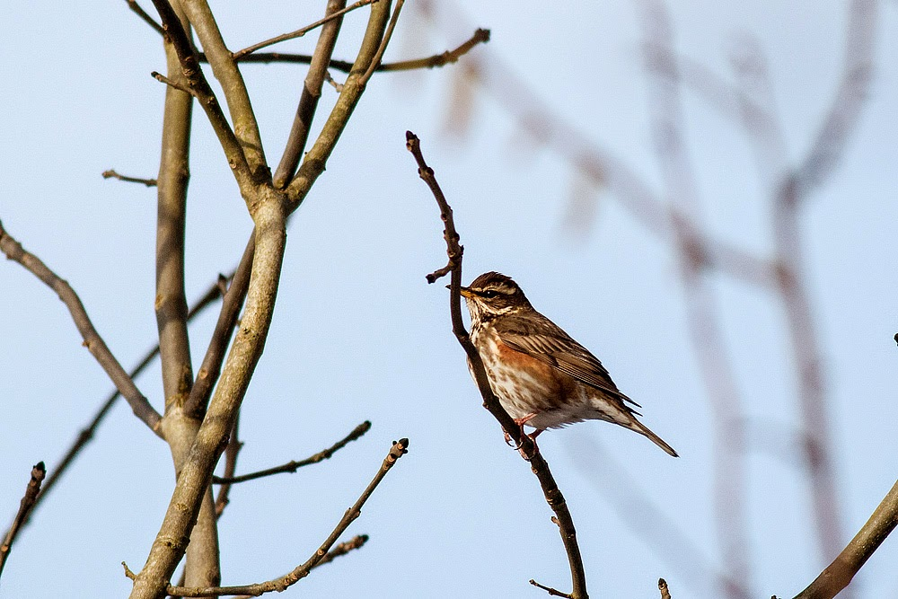 Redwing - Manor Farm, Milton Keynes