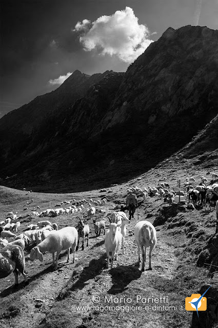 Alpe Selle, gregge