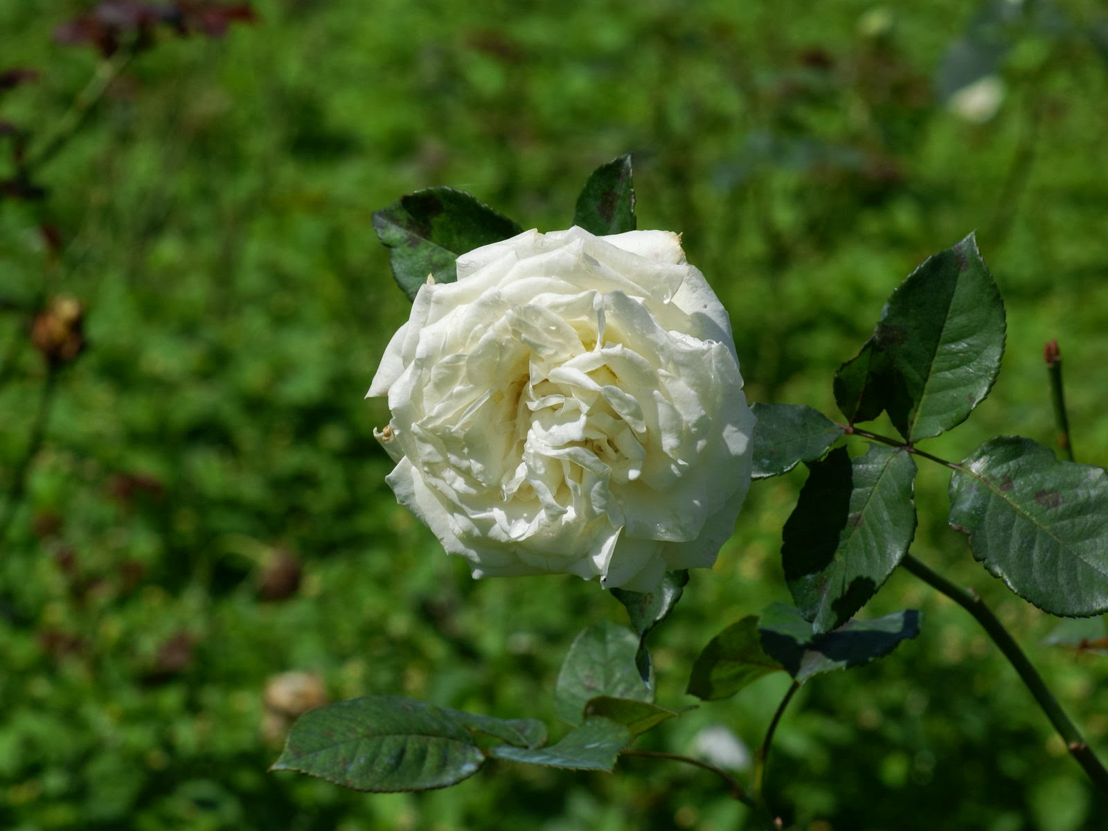 How To Keep Flowers Fresh Overnight White Roses Wallpapers Keywords Here