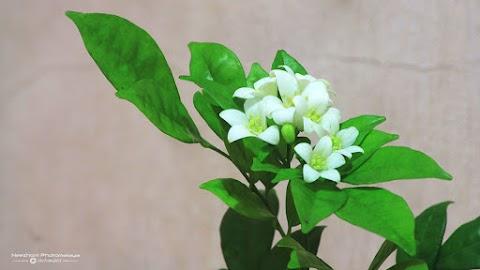 Bunga Melati Berbunga walaupun batangnya hanya direndam dalam air