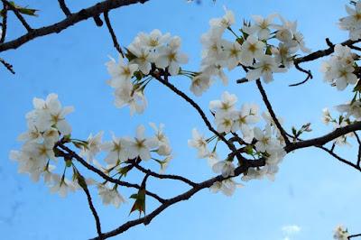 White Cherry Blossom Flowers at Osaka Castle Japan