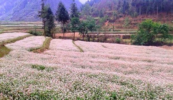 Hoa duoc trong tai nhieu diem de phuc vu cho le hoi hoa tam giac mach
