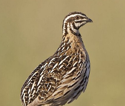 Quail Bird Voice Mp3 Download Bird Voice MP3 Files Free