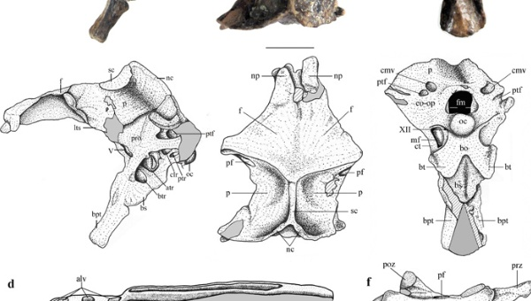Científicos hallan fósiles de nuevo reptil volador en Argentina