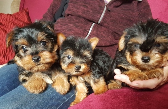 Information For Yorkie Puppies Teacup Yorkies Puppies For Sale